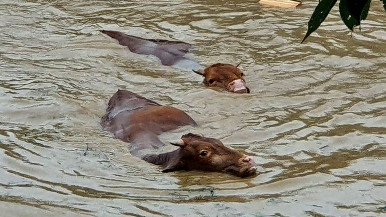 Cows struggling to swim through floodwater caused by heavy rain in the southwestern county of Gurye, South Korea, 08 August 2020.